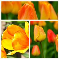 Tulip - Orange Lion